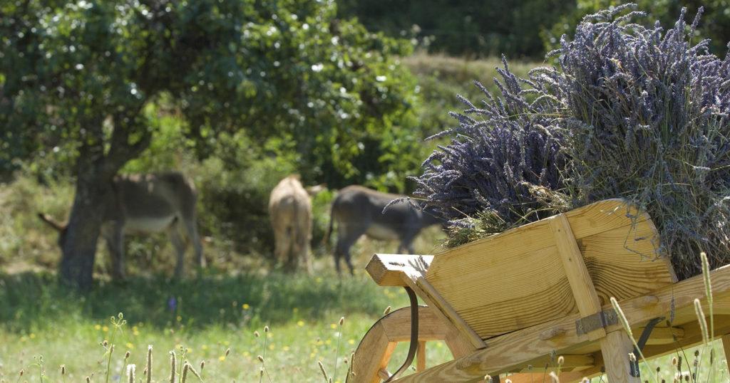 Lavande et ânes à Thoard