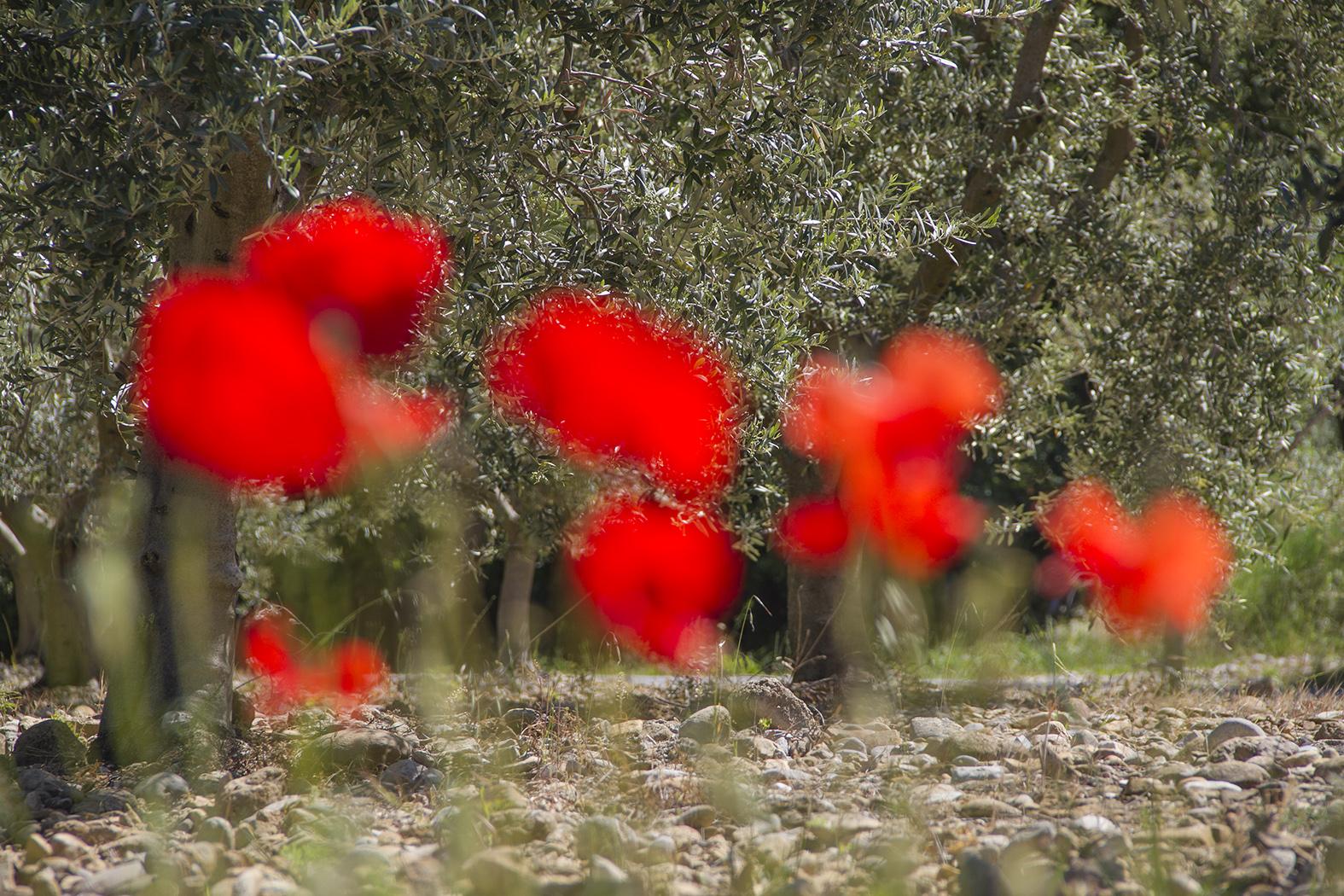 Coquelicots devant oliviers aux Mées