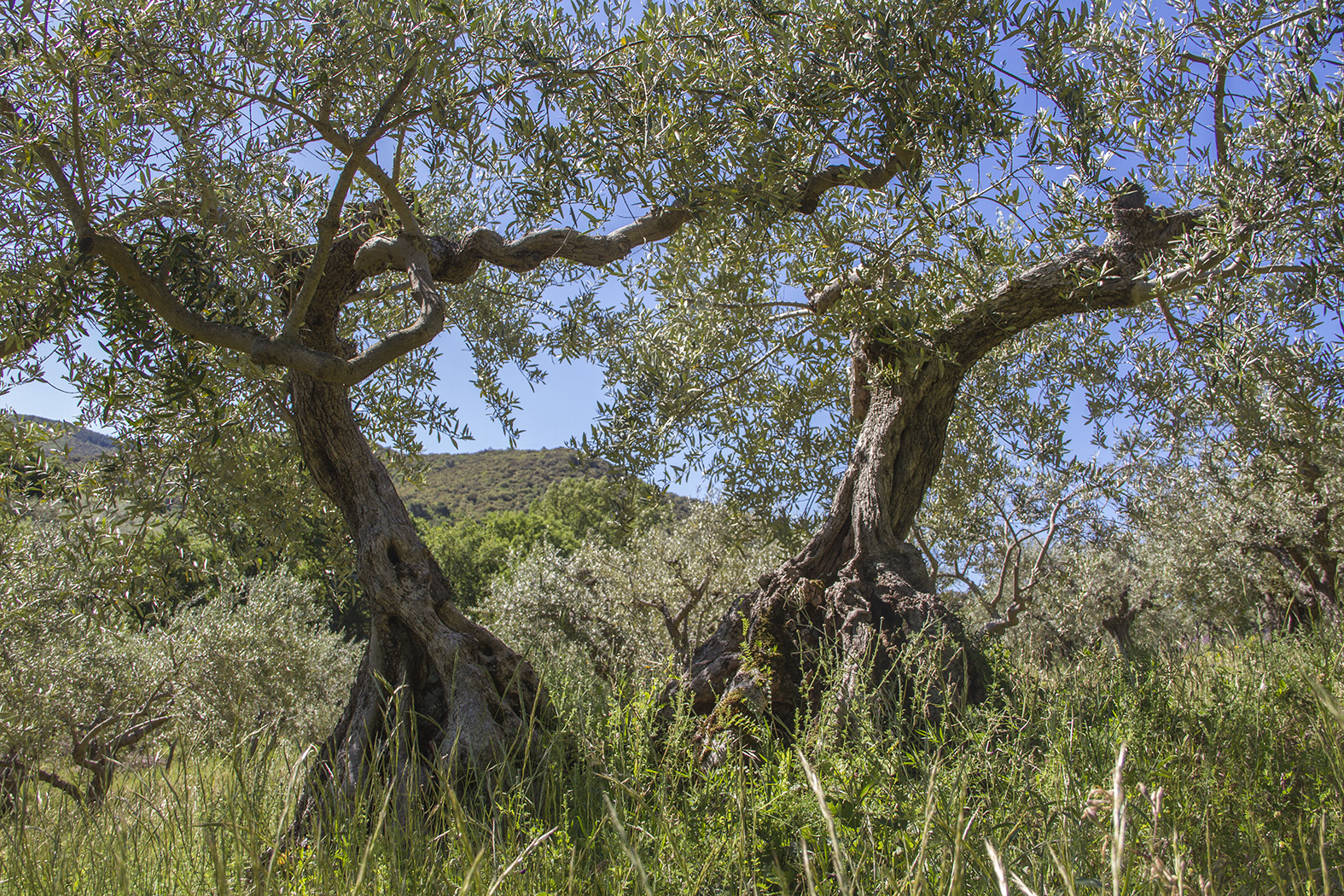 Très vieil olivier pluri tronc aux Mées