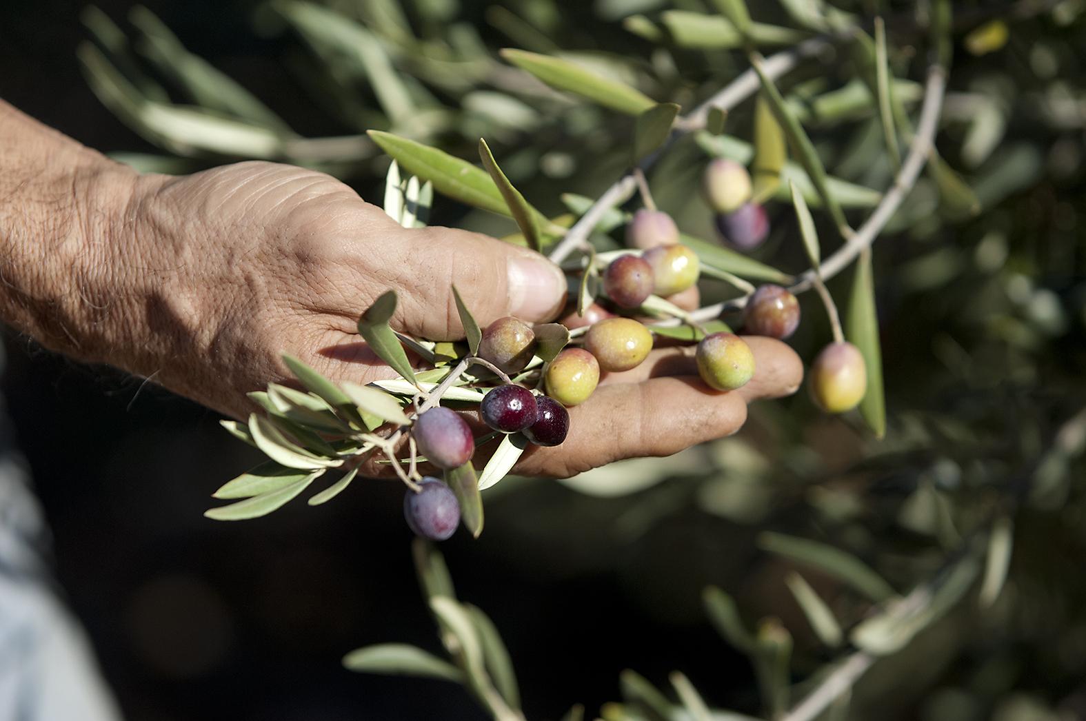 Vieille main tenant une poignée d'olivier