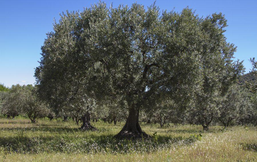 Huile d'olive. Olivier dans un champ
