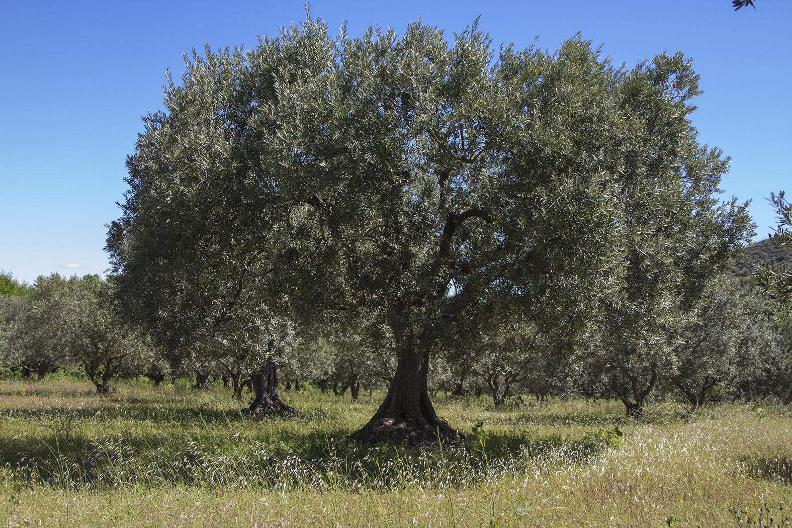 Il Cultive L Olivier l'huile d'olive, fleuron discret du terroir bas-alpin - site