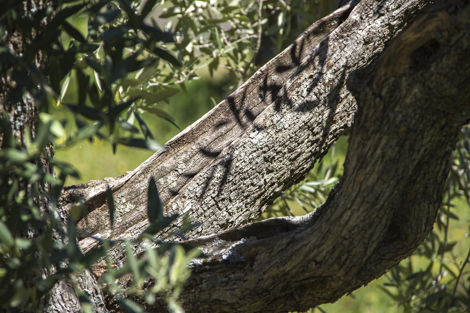 Ombres de feuilles d'olivier sur tronc d'olivier