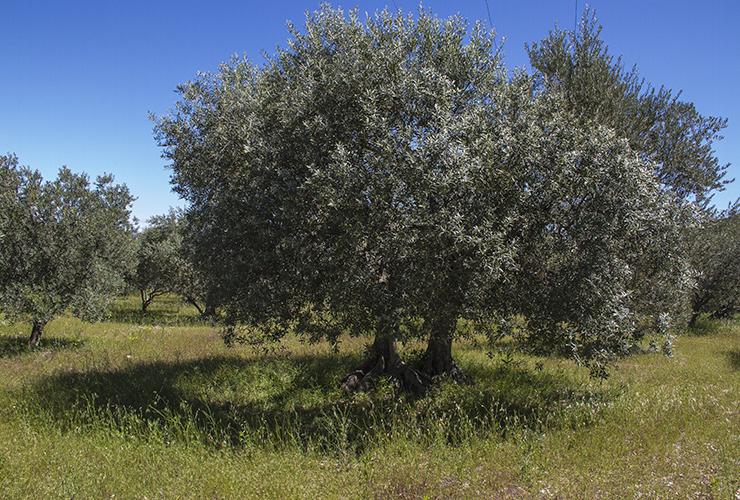 Olivier dans un champ de la commune des Mées.